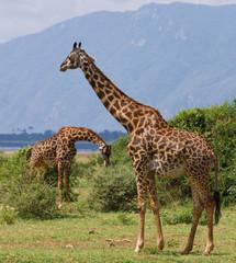 Two giraffes in savanna. Kenya. Tanzania. East Africa. An excellent illustration.