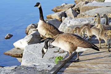 Pair of Adult Canada Geese lead their young goslings over a rocky ledge towards the water