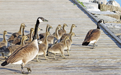 Pair of Adult Canada Geese lead their young goslings across the Boardwalk