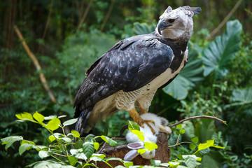 Wall Mural - Harpy Eagle