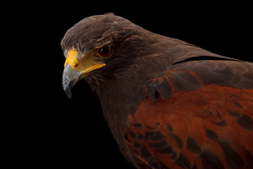 Wall Mural - Harris's Hawk