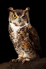 Wall Mural - Great Horned Owl