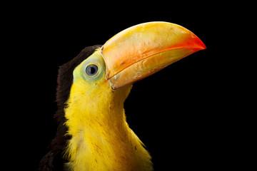 Wall Mural - Baby toucan