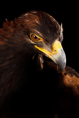 Wall Mural - Golden Eagle