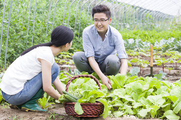 Young couple picking vegetables in greenhouse