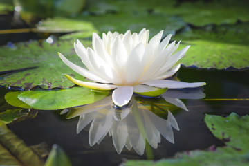 photos, illustrations et vidéos de lotus, Beautiful flower
