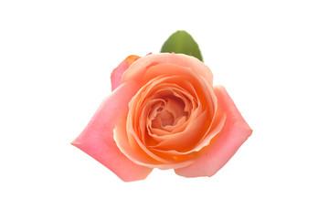 beautiful orange single rose bud isolated