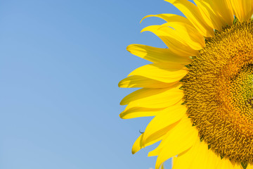 Sunflowers,Sunflowers blooming against a bright sky