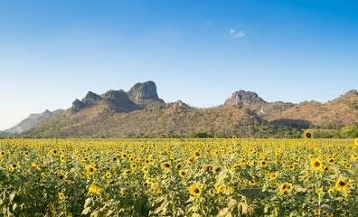 sunflowers field, with blue sky on sunny day: LOPBURI,THAILAND