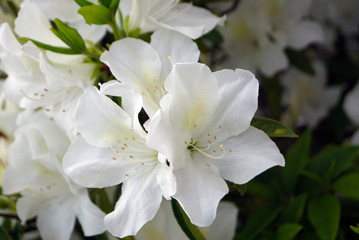 white Rhododendron flowers