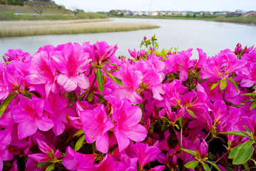 Group of azalea flowers blooming near the river in japan