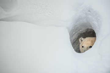 The polar bear looks out of a snow den