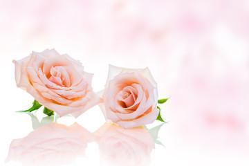バラの花 ピンク