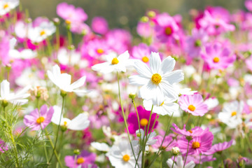 Beautiful Cosmos flower in the field