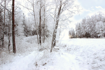 Winter forest with spruce covered snow. Frozen forest with snow. Winter beautiful forest