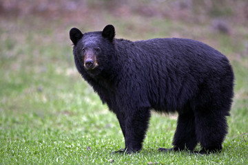 Alert Black Bear in meadow, watching ( Ursus Americanus )