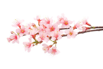Pink Cherry blossom flowers white background