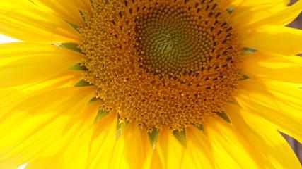 nice color of sunflower in garden