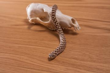 Heterodon nasicus, Western hog-nosed snake with fox skull on wooden background