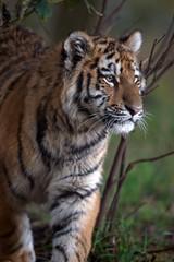 Siberian Tiger Cub (Panthera Tigris Altaica)/Siberian Tiger Cub in dark forest