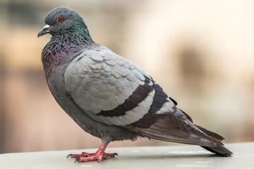 Taube im Profil