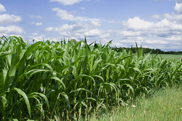 Corn Field on a Sunny Day – Blue sky, clouds, and a corn field.