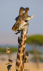 Giraffe with bird. Kenya. Tanzania. East Africa. An excellent illustration.