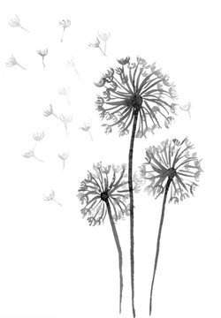 Dandelion grey scale watercolour illustration on white background