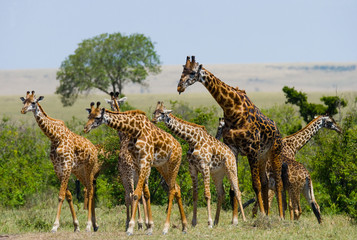 Group of giraffes in the savanna. Kenya. Tanzania. East Africa. An excellent illustration.