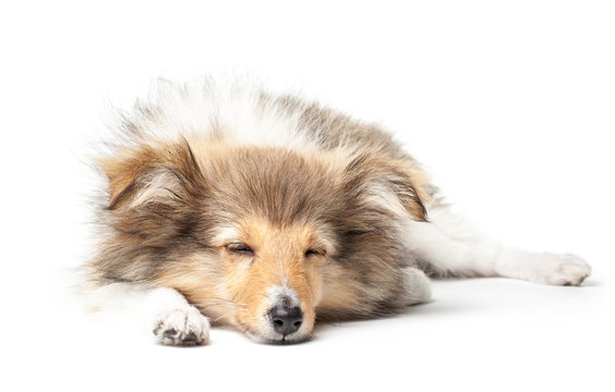 Sheltie puppy isolated on a white background
