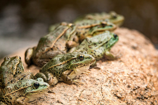 Northern Leopard Frogs basking on a rock