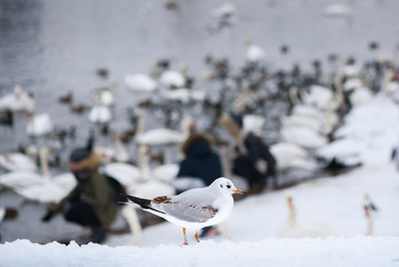 Seagull Sitting on the Ground in Winter