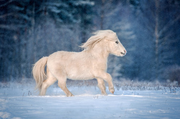 White shetland pony running gallop in winter
