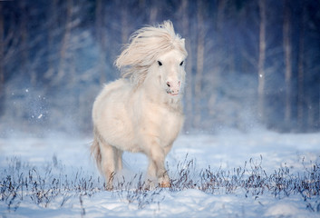 White shetland pony with long flying mane running in snow in winter