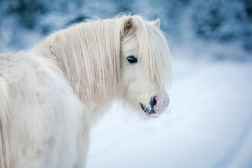 Fototapete - Portrait of white shetland pony in winter