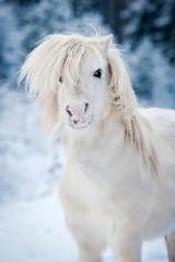 Portrait of funny white shetland pony in winter