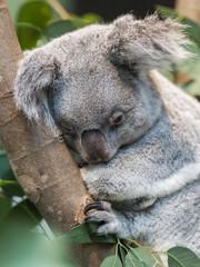 Papiers peints Koala Close-up of a koala bear