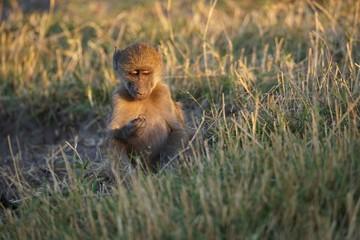 Printed roller blinds Monkey Lief klein aapje observeert....