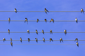 Swallows gather and relax on the parallel wires like a music sheet at summer with clear blue sky