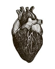 Human anatomical heart