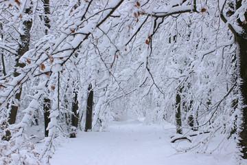 Schneebedeckter Buchenwald