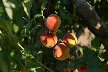 Персики поспели
