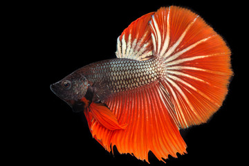 Thai fighting fish