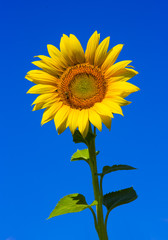 Beautiful sunflower and bee with clear blue sky background