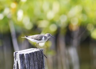 Bird grey tailed tattler.