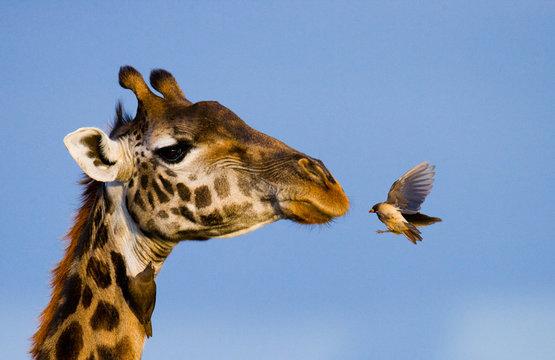 Giraffe with bird. A rare photograph. Kenya. Tanzania. East Africa. An excellent illustration.