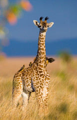 Baby giraffe in savanna. Kenya. Tanzania. East Africa. An excellent illustration.