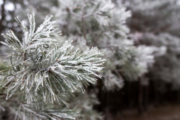 Natural winter landscape. Fir tree branch covered up in frost.