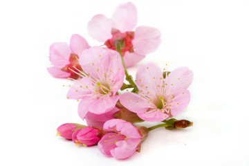 sakura flowers isolated white background Wall mural
