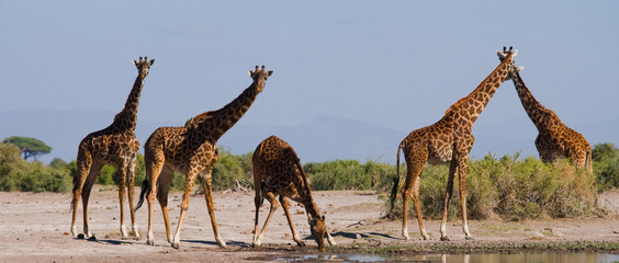 Poster de jardin Girafe Group of giraffes at the watering. Kenya. Tanzania. East Africa. An excellent illustration.